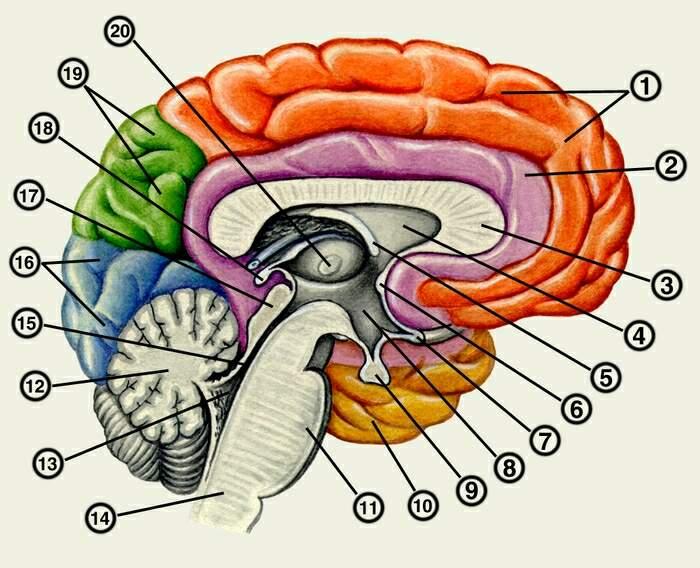 14 - промежуточный мозг.  4 - боковой желудочек.  3 - мозолистое тело.  9 - зрительный бугор.